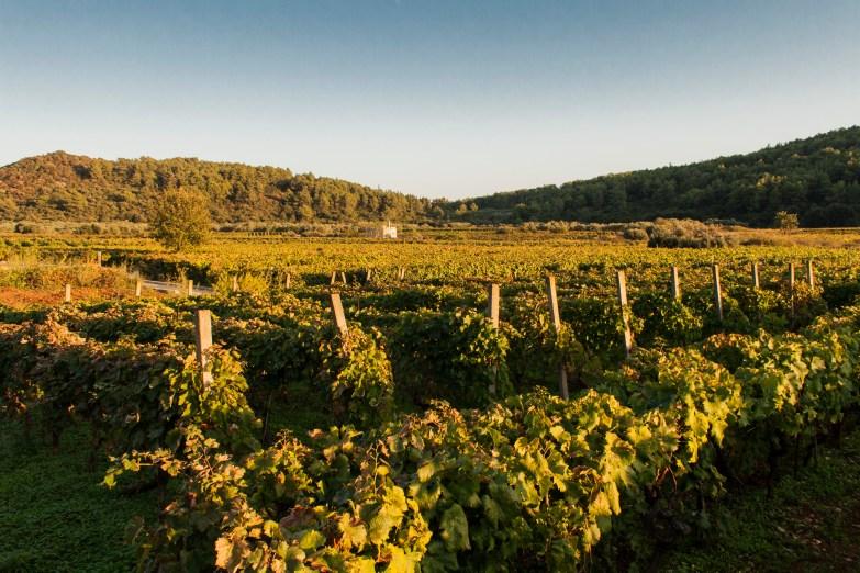 4_Weinreben im Inselinnern von Korcula